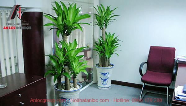 cây cảnh phong thủy trong phòng khách - cây thiết mộc lan