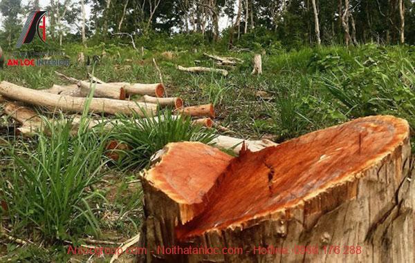 Mẫu gỗ chưa qua khai thác