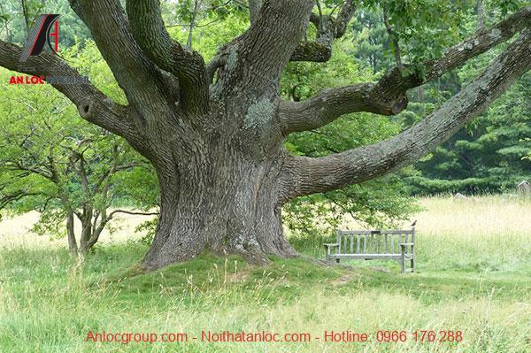 Tần Bì tự nhiên với nhiều nhánh cây vươn ra xung quanh