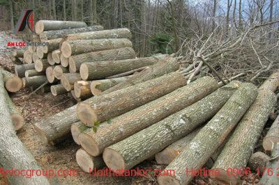 Gỗ ASH sau khi được khai thác với từng thớ gỗ chắc chắn, vân sáng