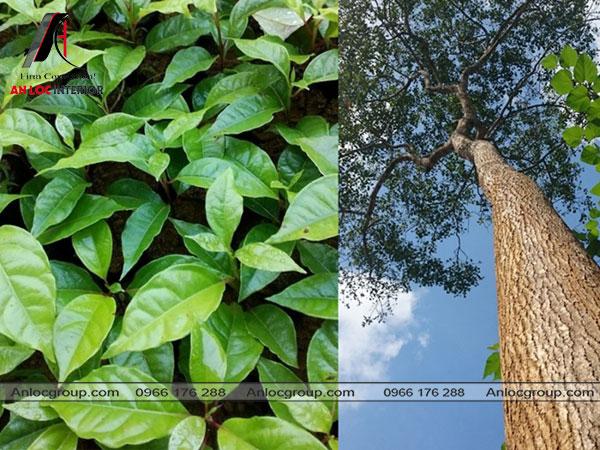cây gỗ xá xị trong tự nhiên
